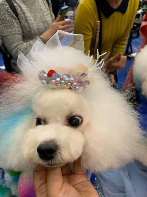 重慶市NGKC 2019年12月2一4日年度國際寵物美容師賽事